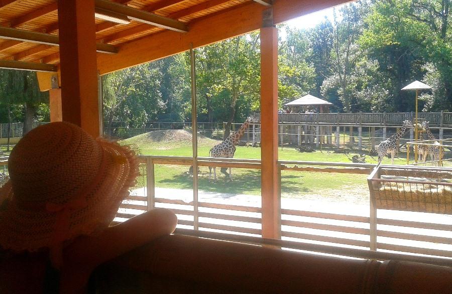 Eleganckie i dostojne żyrafy